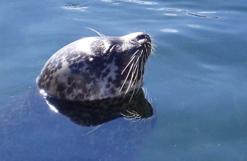 Seal in the sunlight water
