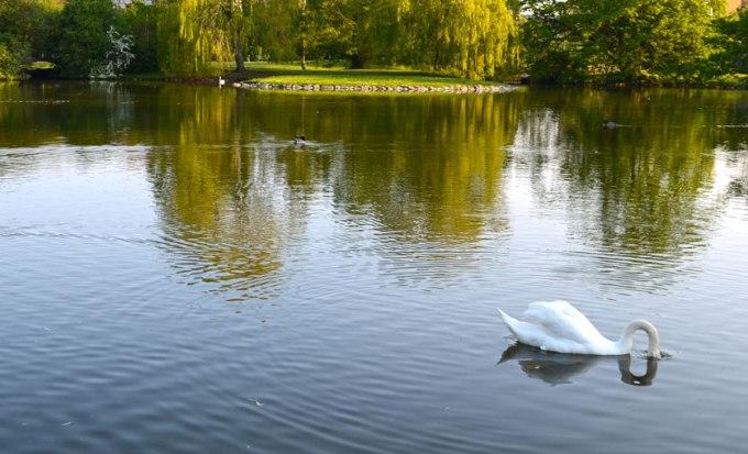Mr Swan on the lookdown