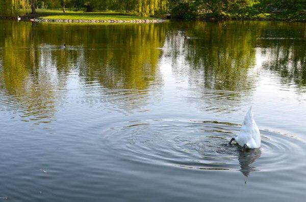Mr Swan diving