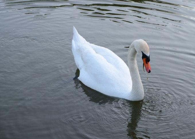 Mr Swan got some sea food