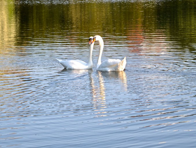 Mr Swan and Mrs Swan finding each other