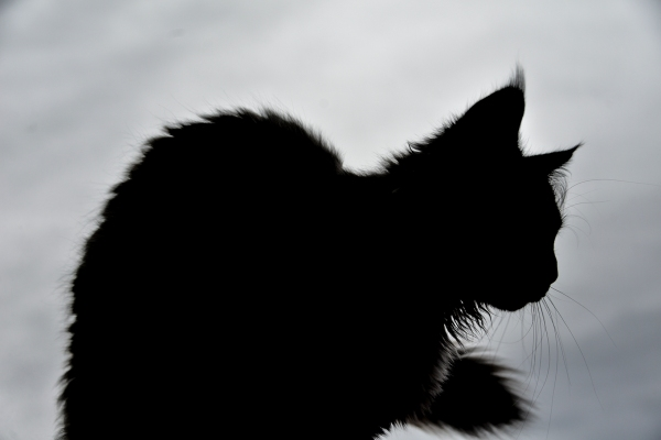 maine coon sihlouette